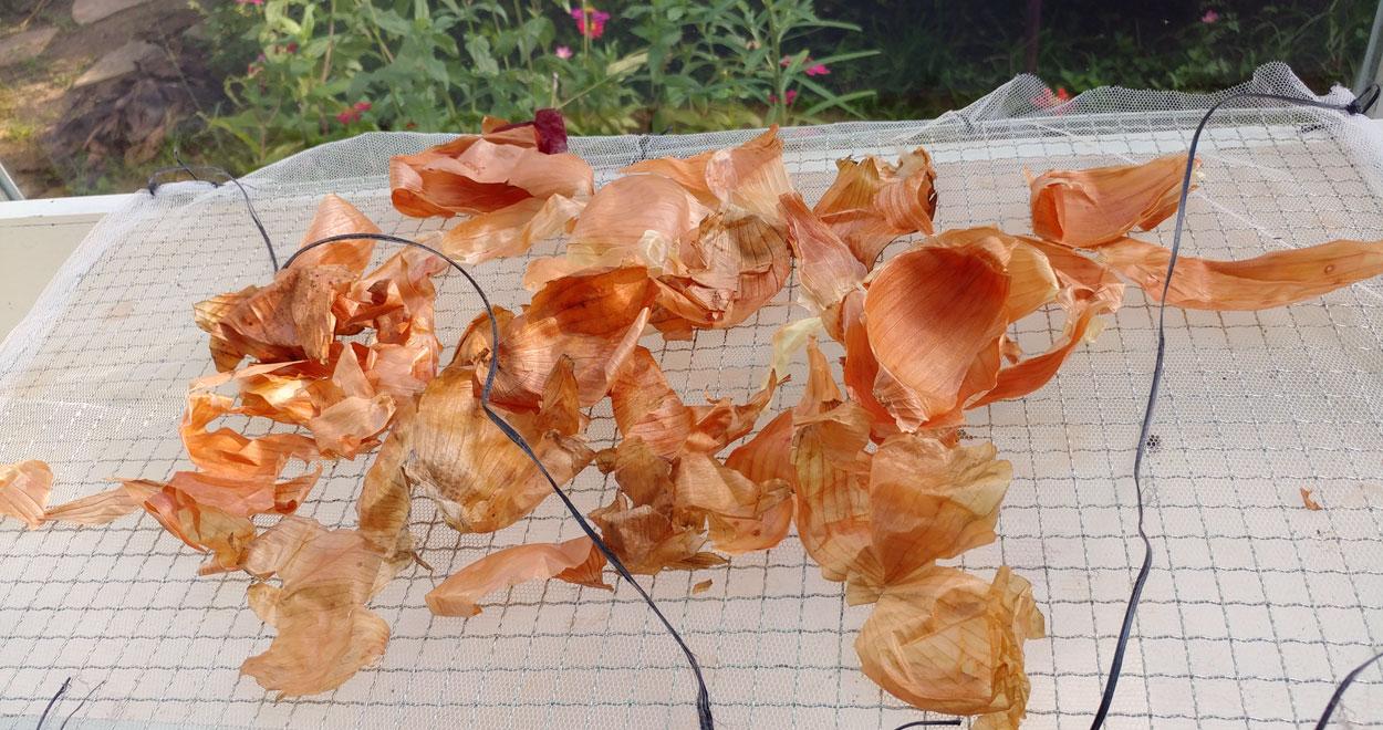 Onion skins drying
